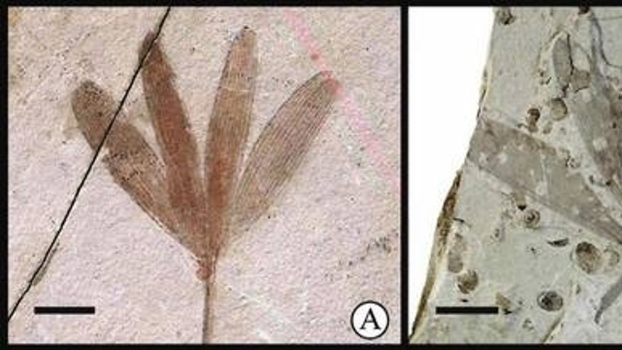 The hangingfly <em>J. ginkgofolia</em> (right), which mimics the appearance of a leaf from the ginkgo-like tree <em>Y. capituliformis</em> (left). Scale bars: 10 mm.