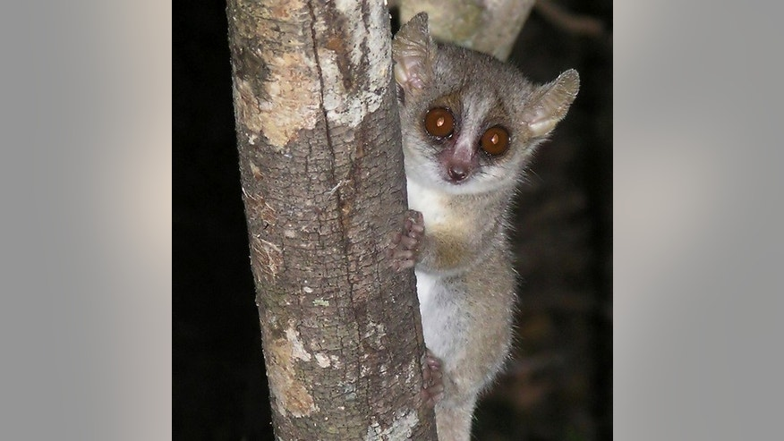 The nocturnal grey mouse lemur lives a solitary lifestyle.