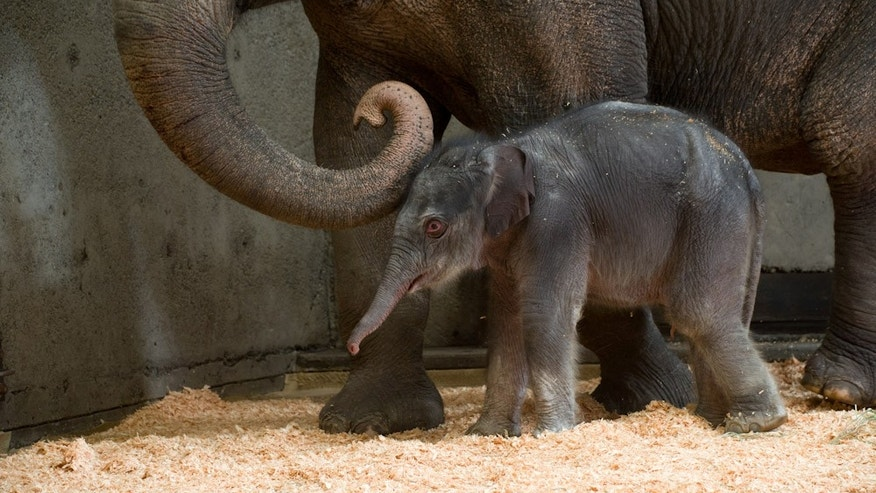 Nov. 30, 2012: Photo provided by the Oregon Zoo shows a newborn female Asian elephant calf in the elephant maternity ward with her mother Rose-Tu at the Oregon Zoo in Portland, Ore. The Oregon Zoo says Rose-Tu gave birth to the 300-pound female calf at 2:17 a.m. Friday, and the youngster is healthy, vigorous and loud.