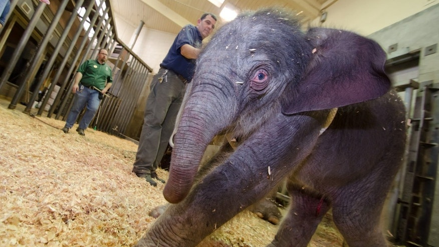 Nov. 30, 2012: Photo provided by the Oregon Zoo shows a newborn female Asian elephant calf just moments after birth at the Oregon Zoo in Portland, Ore. The Oregon Zoo says their Asian elephant Rose-Tu gave birth to the 300-pound female calf at 2:17 a.m. Friday, and the youngster is healthy, vigorous and loud.