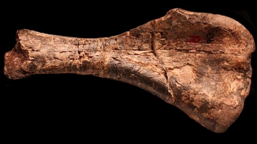 The fossilized humerus of the oldest dinosaur yet discovered is about 5 inches long, and scientist estimate it would have been about 6 inches long in the living animal.