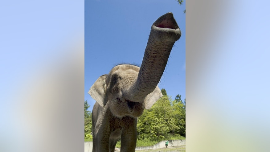 <p>This recent study examined DNA from 10 elephants, nine of them from Sabah, and one from the Oregon Zoo. The Oregonian elephant, Chendra, is shown above. According to the zoo's bio for her, wildlife officials found Chendra orphaned, alone and