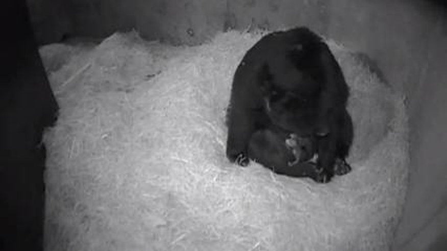 Andean bear Billie Jean gives birth to twins.