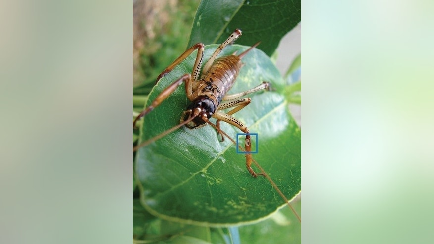 A female Auckland tree weta. The blue box marks the location of the auditory structures.