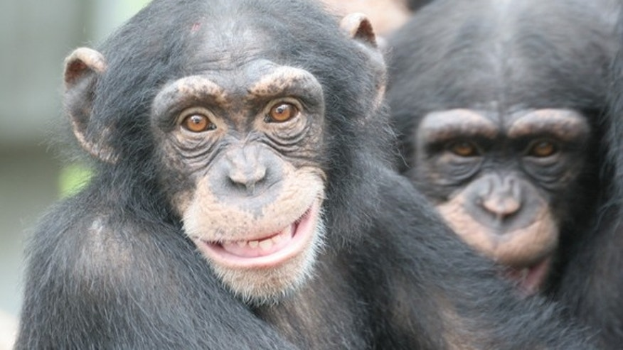 Unlike human brains, those of chimpanzees don't go through a rapid explosion in neural connectivity during the first two years of life, which may explain humans' superior intelligence.