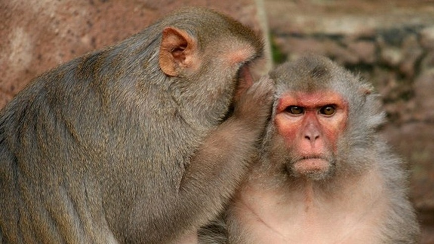 Brain cells in rhesus monkeys fire when they give other monkeys juice but don't receive any themselves.