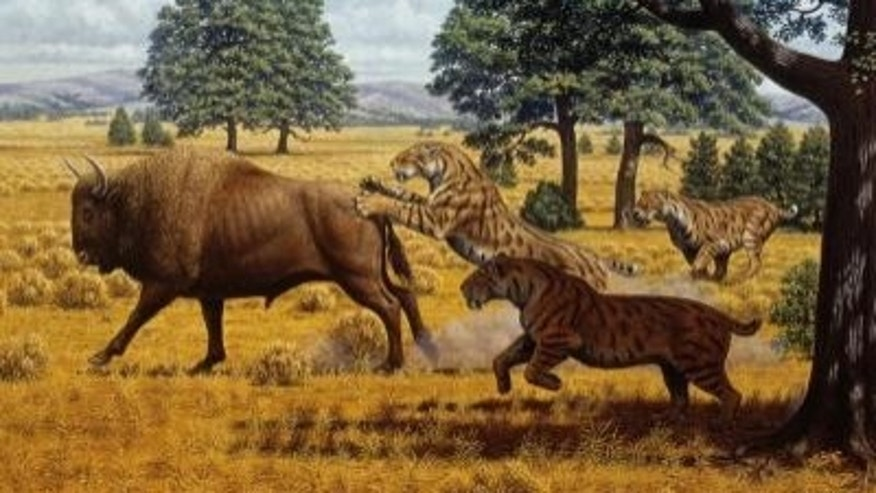 Sabertoothed cats were not limited by food in California during the late Pleistocene.