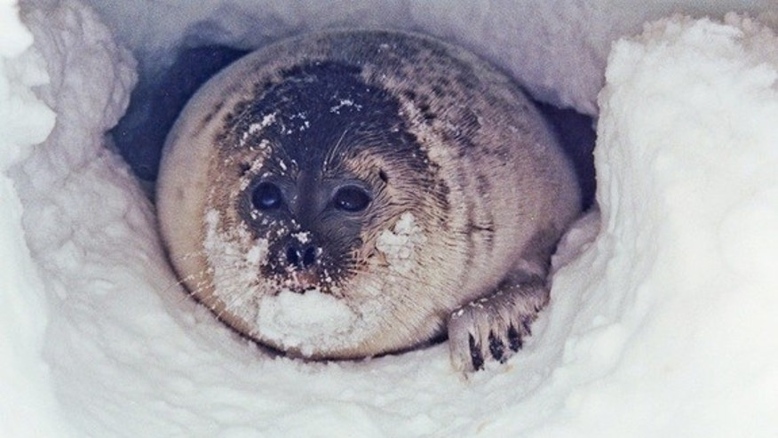 A ringed seal peaks out from its snow cave.