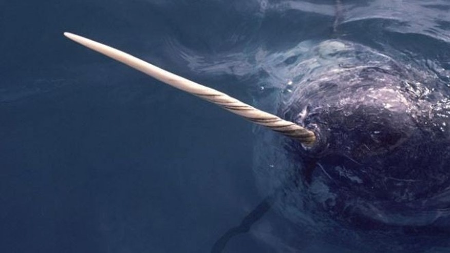 A narwhal in the waters off northwest Greenland.