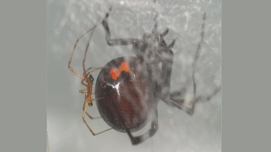 A black widow spider couple clings to a web. Recent research shows that males of the species seek out recently-fed females for mating.