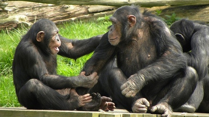 Chimps and humans have a similar sense of fairness, a new study shows.