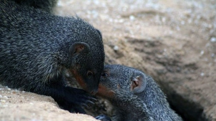 Researchers found that the single-syllable call of the banded mongoose is actually structured, and perhaps like the vowel and consonant system of human speech.