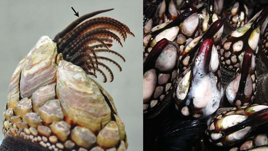 On the left: A stalked barnacle with a relaxed penis (marked with arrow); On the right: Erect barnacles releasing sperm into water.