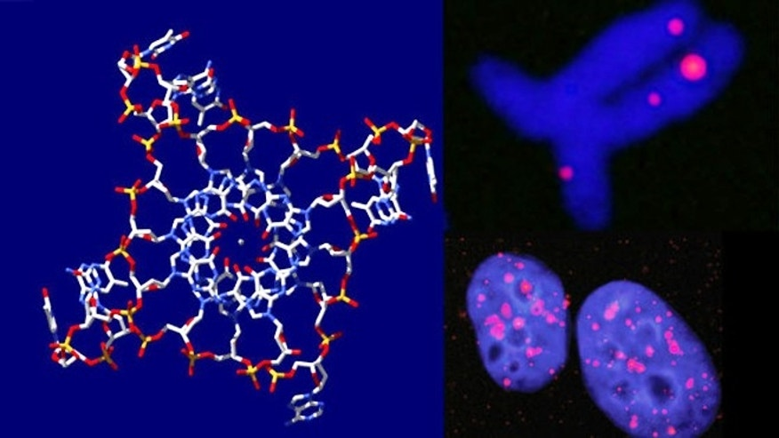 Jan. 21, 2013: Quadruplex DNA strands are seen at left, while  fluorescent stains at right reveal their presence in human cell nuclei and chromosomes.