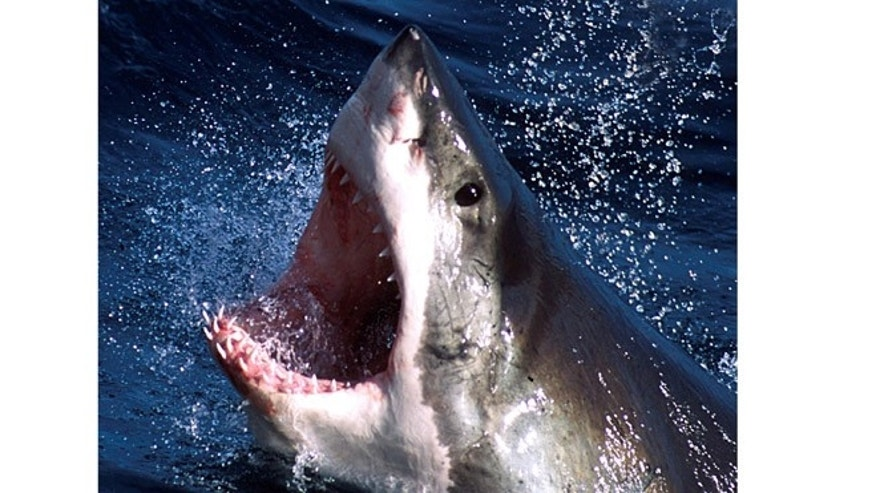 An undated photo of a great white shark.