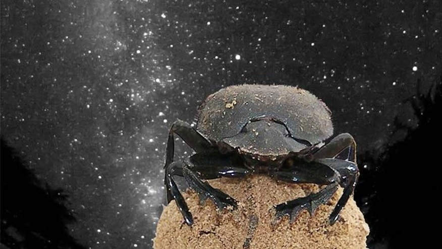 Dung beetles use the glow of the Milky Way galaxy to navigate.