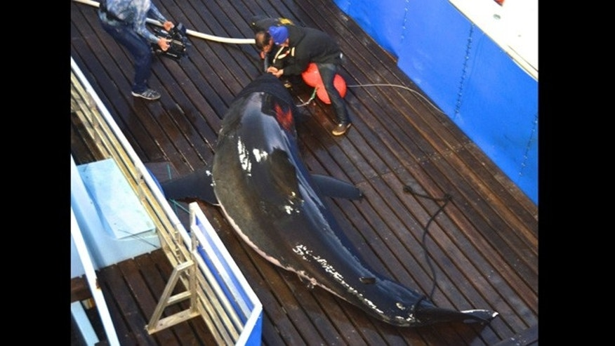 Sept. 18, 2012: Scientists tag a great white shark named Mary Lee off Cape Cod, Massachusetts. The shark was tracked south to the Florida coast but as of Thursday, January 31, 2013, was again off Long Island, N.Y.