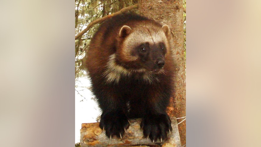 This undated image provided by the U.S. Fish and Wildlife Service shows a wolverine. Add the tenacious wolverine, a snow-loving predator sometimes called the 'mountain devil,' to the list of species the government says is threatened by climate change.