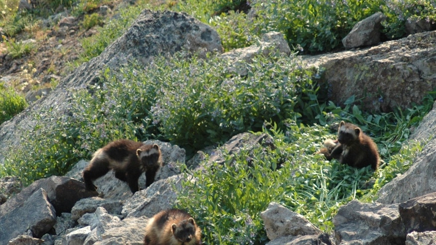 July 2007: A female wolverine and her cubs being taken in the Gravelly Range of southwest Montana. Wolverines need deep mountain snows to survive, but the government said Friday, Feb. 1, 2013, that anticipated warming temperatures in coming decades will shrink their habitat, putting the species in danger of extinction.