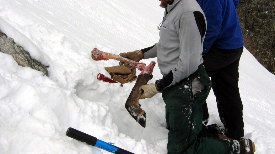 2007: This image provided by the Wildlife Conservation Society shows Bob Inman with the Wildlife Conservation Society holding part of an elk leg found outside a wolverine den built into a snowfield in the Spanish Peaks mountain range in Montana, as fellow wildlife researcher Tony McCue looks on.