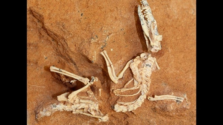 Feb. 7, 2013: A shrew-sized Cretaceous-age animal, Ukhaatherium nessovi, which is one of the many mammals used in a new mammal tree-of-life study. The fossil was discovered in 1994 in the Gobi Desert by the Mongolian Academy and the American Museum of Natural History.