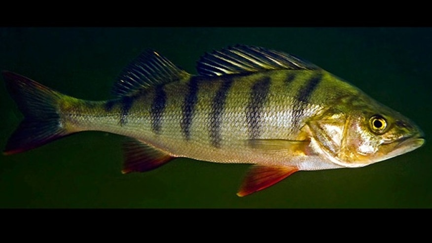 A European Perch, (Perca fluviatilis).