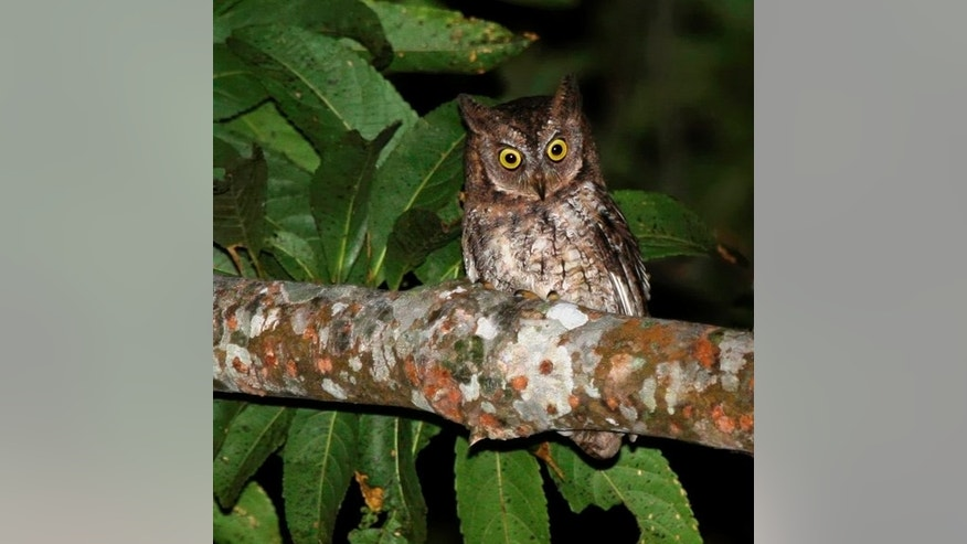 The newly-discovered Rinjani scops owl, or Otus jolandae.