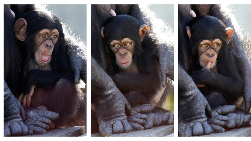 Feb. 19, 2013: A baby chimp shows a variety of expressions as it sits in its mother's arms at Chimp Haven in Keithville, La.