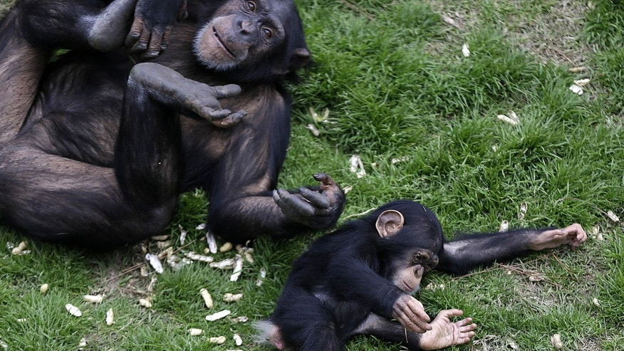 Feb. 18, 2013: An adult chimp plays with a young chimp at Chimp Haven in Keithville, La.