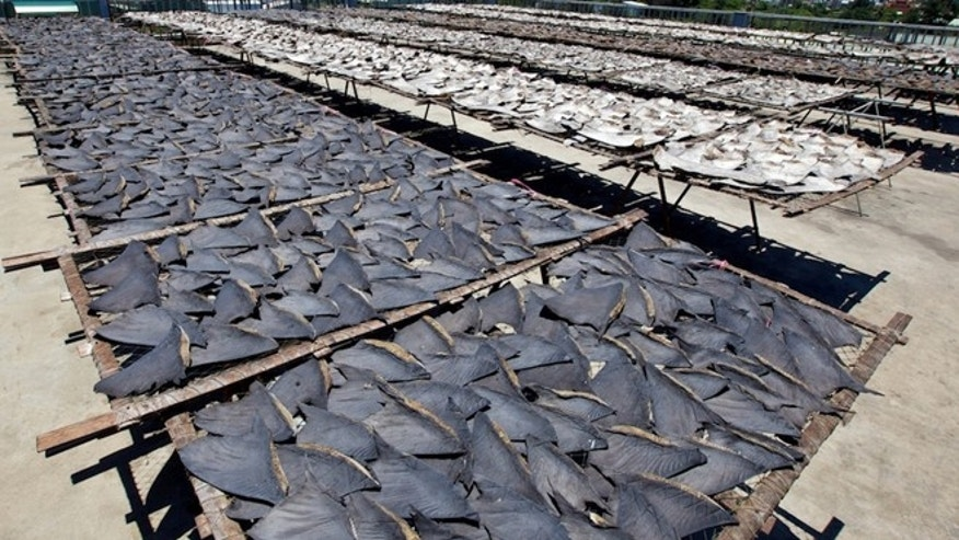 Shark fins drying in the sun in Kaohsiung before processing. 30 percent of the worlds shark species are threatened or near threatened with extinction.