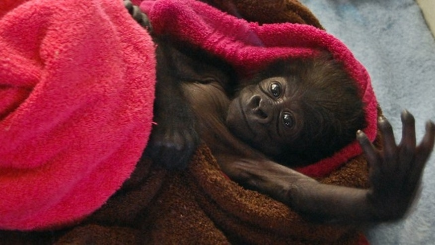 Feb. 15, 2013: Cindy a seventeen day old female baby gorilla reaches into the air at the Gladys Porter Zoo in Brownsville, Texas.
