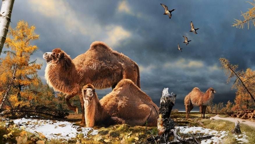 The High Arctic camel on Ellesmere Island during the Pliocene warm period, about 3.5 million years ago. The camels lived in a boreal-type forest that included larch trees; the depiction is based on records of plant fossils found at nearby fossil deposits.