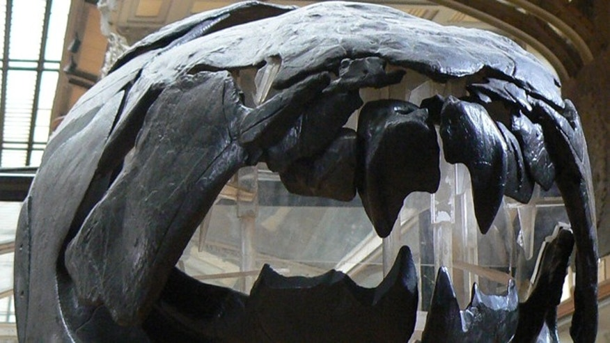 A dunkleosteus skull, seen on display in the Muséum National d'Histoire Naturelle in Paris, France.