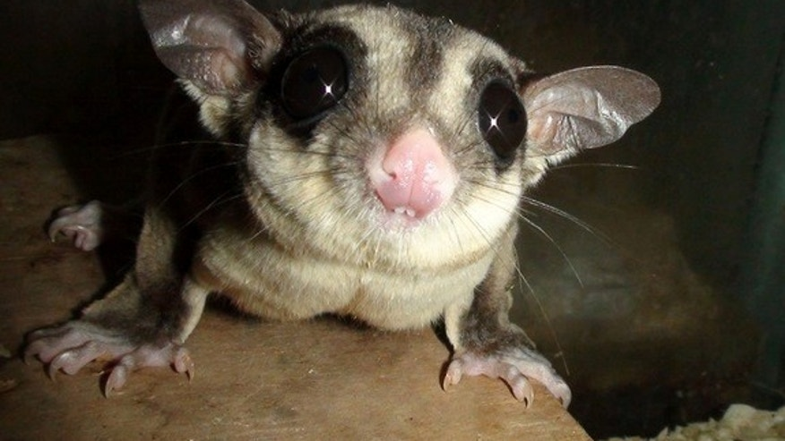 The sugar glider (<i>Petaurus breviceps</i>) behaves and looks much like a flying squirrel, but is a marsupial.