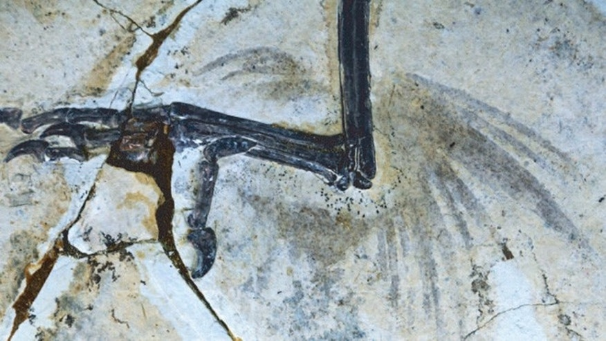 Chinese fossils reveal that ancient birds had feathers on their legs.