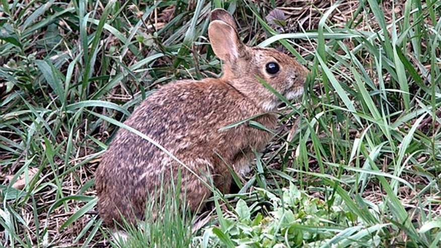 Wildlife officials say the New England cottontail could soon face extinction, due to diminishing shrublands across the Northeast. The only rabbit species indigenous to the region lost more than 80 percent of its habitat over the last 50 years.