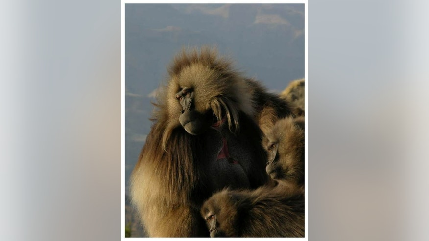 "The ""wobble"" sounds geladas make while smacking their lips have a similar rhythm to human speech."
