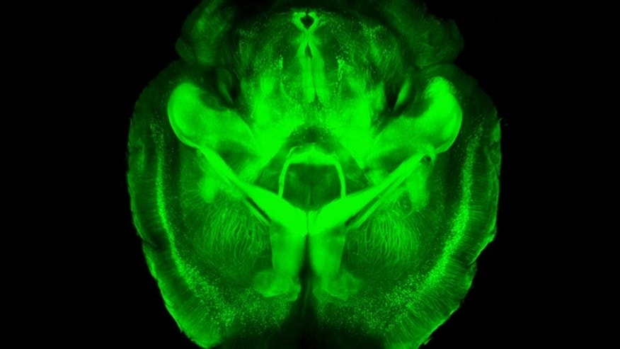 A three-dimensional rendering of clarified mouse brain seen from below. Scientists have made mouse brains transparent, permitting a comprehensive and exquisitely detailed view of their inner structures, providing a major new tool for research.