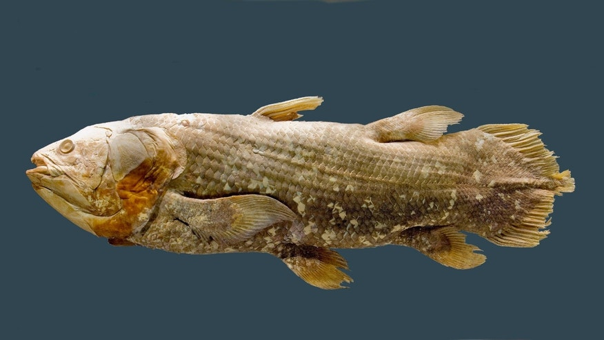 "Scientists have decoded the DNA of the celebrated ""living fossil'' fish, the African coelacanth (Latimeria chalumnae) -- an achievement that should help researchers study how today's land animals with backbones evolved from fishy ancestors."