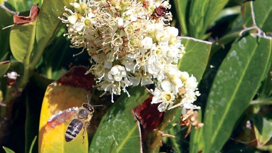 May 2, 2013: A bee looks for a pollen laden flower in Kennewick, Wash. A  new U.S. report blames a combination of problems for a mysterious and dramatic disappearance of honeybees across the country since 2006.