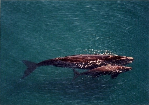 Death of hundreds of baby right whales continues to puzzle scientists