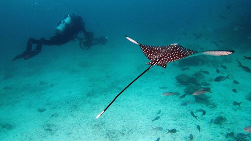 In this May 2013 photo provided by Catlin Seaview Survey, Christophe Bailhache with an SVII camera is escorted underwater by a Spotted Eagle Ray during a survey dive in the Galapagos Islands.
