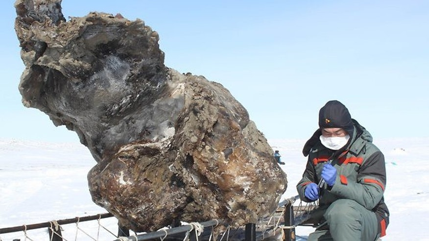 A researcher working near a carcass of a female mammoth found on a remote island in the Arctic Ocean.