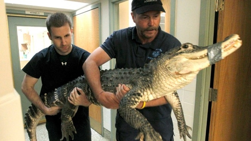 June 3, 2013: Brandon Woods, left to right, an assistant veterinary technician at Dayton South Veterinary Clinic and Tim Harrison, director of Outreach for Animals carrying an alligator to an examination room at the Humane Society of Greater Dayton and Outreach for Animals in Dayton, Ohio.