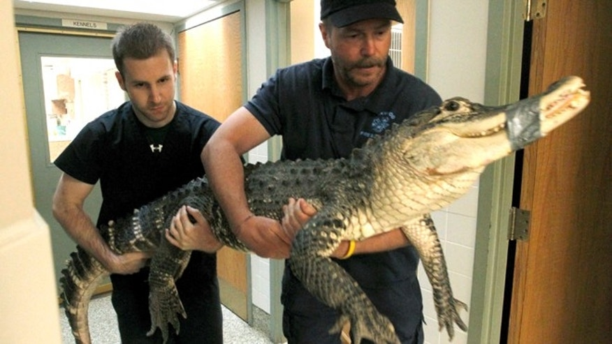 June 3, 2013: Brandon Woods, left to right, an assistant veterinary technician at Dayton South Veterinary Clinic and Tim Harrison, director of Outreach for Animals carrying an alligator to an examination room at the Humane Society of Greater Dayton and Outreach for Animals in Dayton , Ohio.  Authorities say animal cruelty charges may be filed against the man who was keeping a 7-foot alligator in his basement in suburban Dayton. (AP/Dayton Daily News)