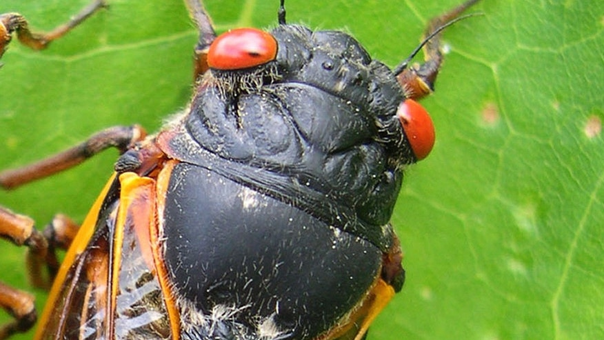 This photo provided by the University of Connecticut, shows a cicada in Pipestem State Park in West Virginia on May 27, 2003. Any day now, cicadas with bulging red eyes will creep out of the ground after 17 years and overrun the East Coast with the awesome power of numbers. Big numbers. Billions. Maybe even a trillion. For a few buggy weeks, residents from North Carolina to Connecticut will be outnumbered by 600 to 1. Maybe more. And the invaders will be loud. A chorus of buzzing male cicadas can rival a jet engine.(AP Photo/University of Connecticut, Chirs Simon)