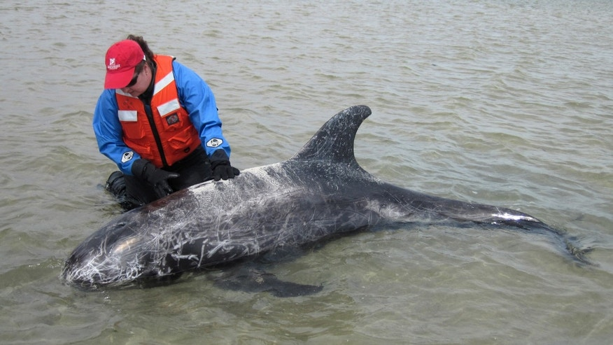 June 6, 2013: Kimberly Durham, Rescue Program Director for the Riverhead Foundation for Marine Research and Preservation, tends to a Risso's dolphin which the foundation rescued from a sandbar in Oak Beach, on the south shore of Long Island, New York.