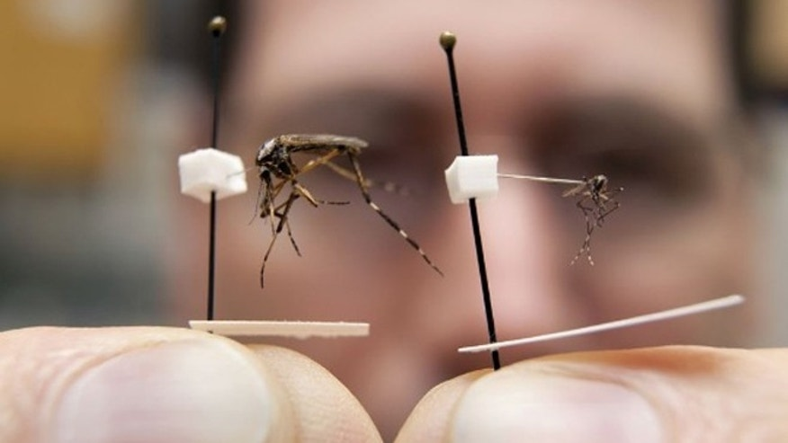 Entomologists predict quarter-sized gallinippers (like the beast seen at left) will invade Florida.