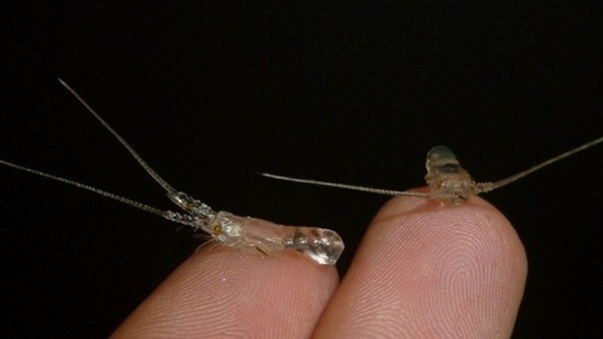 Two transparent spiny lobster post-larvae pose on the tips of fingers.