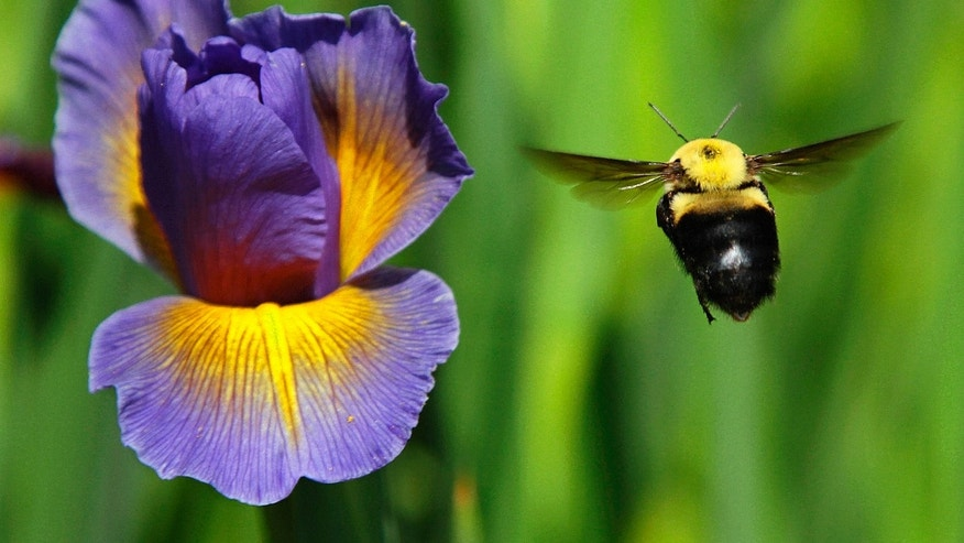 A bumble bee flies toward a flower Tuesday, May 15, 2012 in Springfield, Ill. (AP Photo/Seth Perlman)